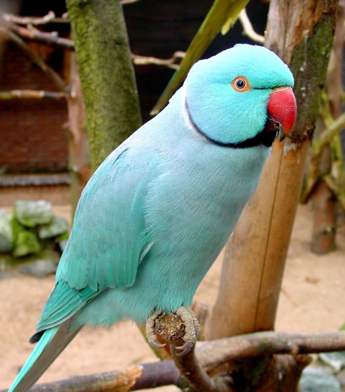 Indian Ringneck Blue Tamed Feathers N Friends Exotic Birds