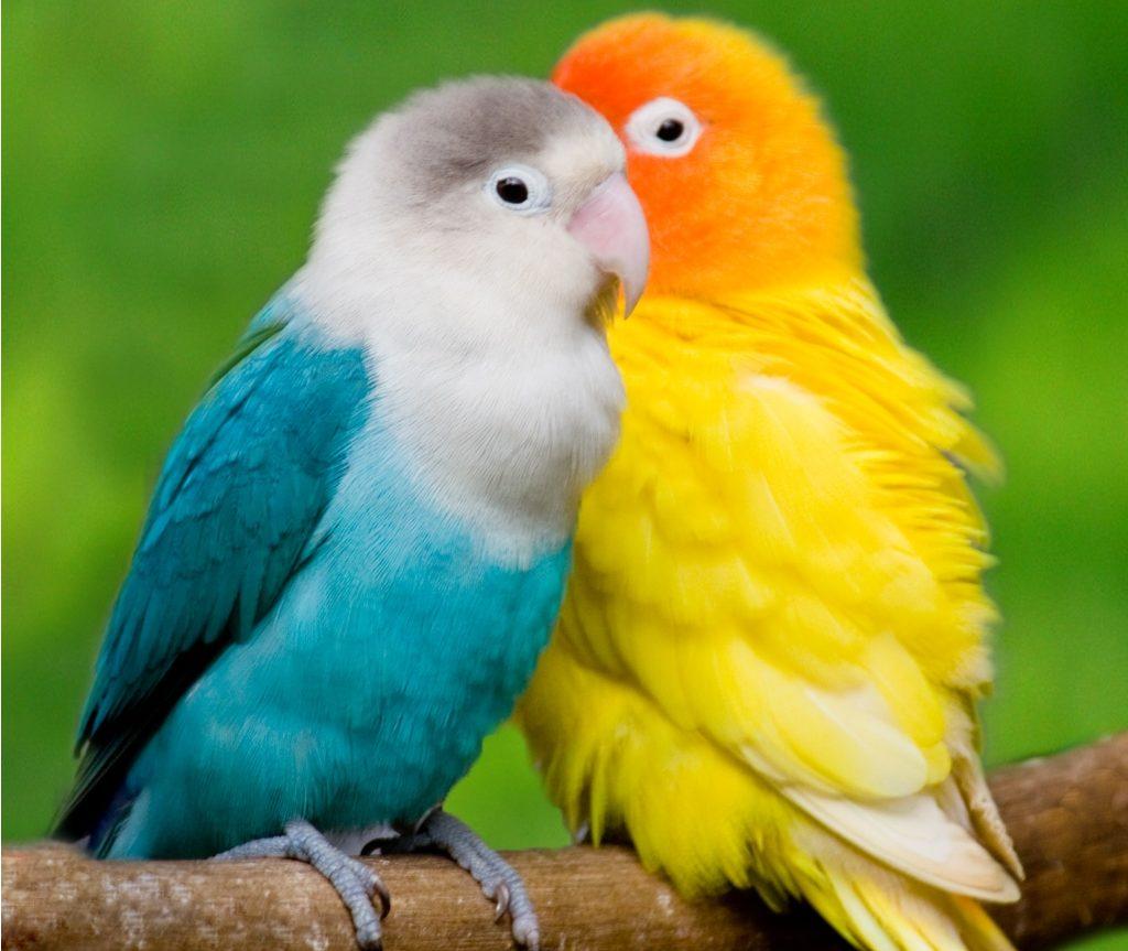 Fischer Lovebird Blue Feathers N Friends Exotic Birds Feathers N Friends Exotic Birds