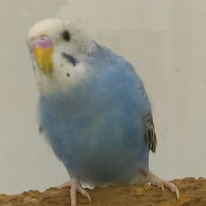 Budgies For Sale - Feathers N Friends Exotic Birds