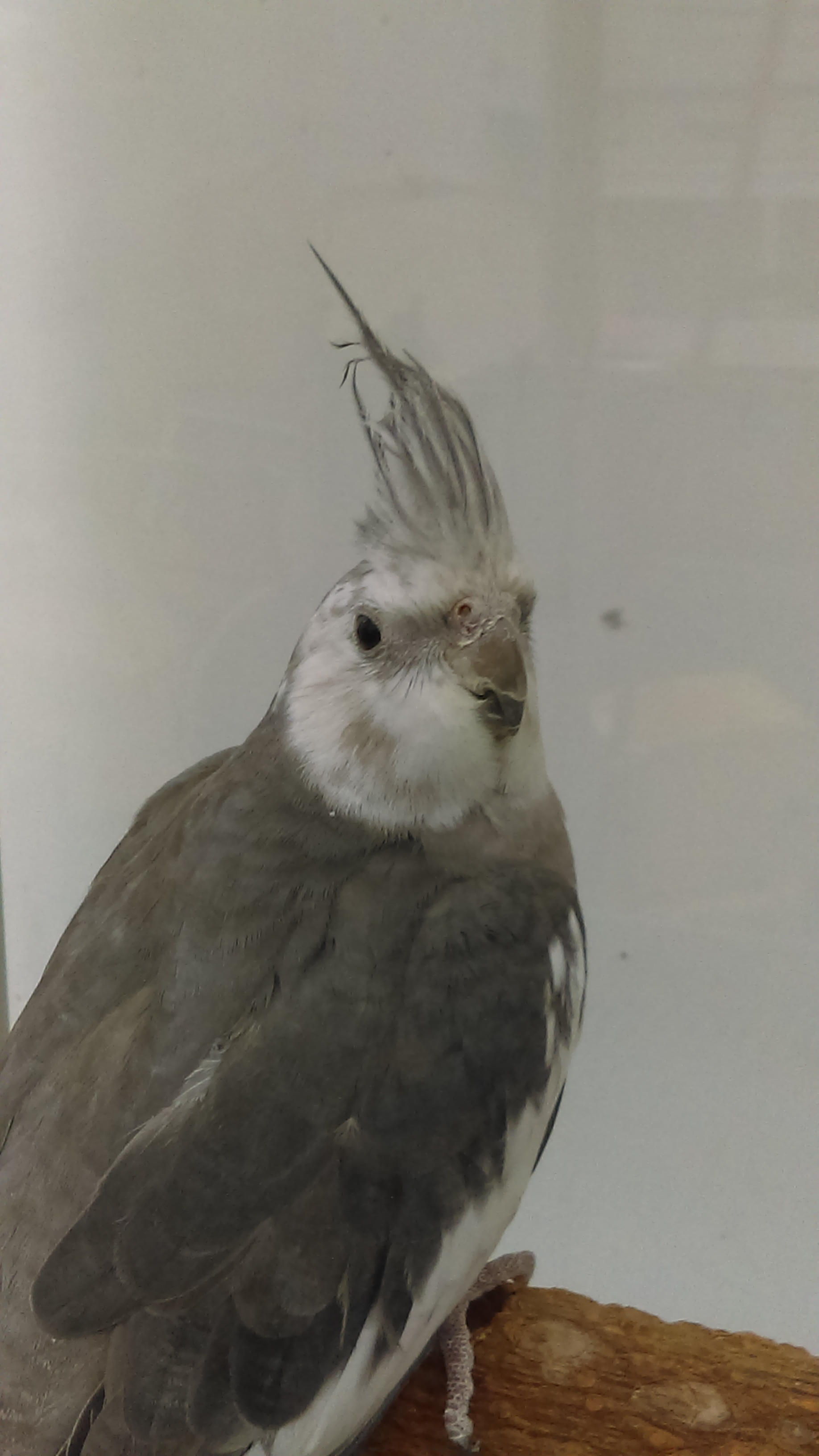White-faced Cockatiel stock photo. Image of intelligent ... |White Faced Cockatiel