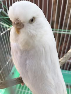 English Budgie Albino