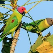African Ringneck Feathers N Friends Exotic Birds